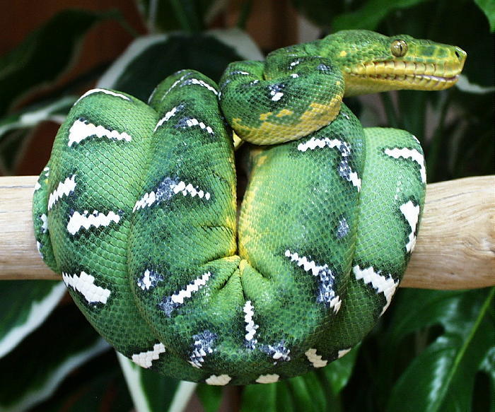 Emerald Tree Boa Pictures 15