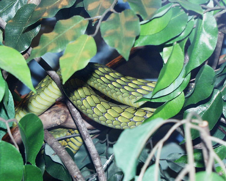 West African Green Mambas